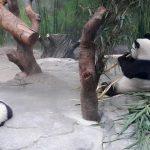 Lucunya Bayi Panda di Chimelong Safari Park