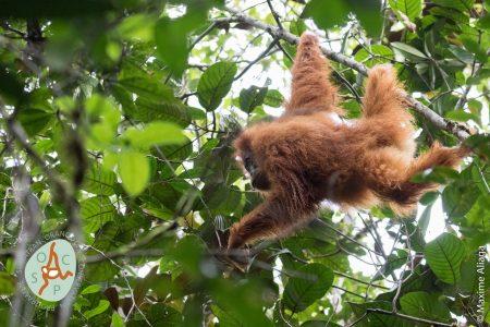 Ayo Selamatkan Hutan Batang Toru